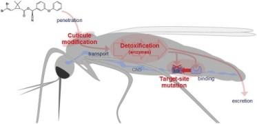Etapas de toxicidade principais inseticidas piretróides e mecanismos de resistência em mosquitos