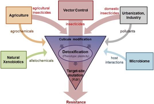 Etapas de toxicidade principais inseticidas piretróides e mecanismos de resistência em mosquitos.